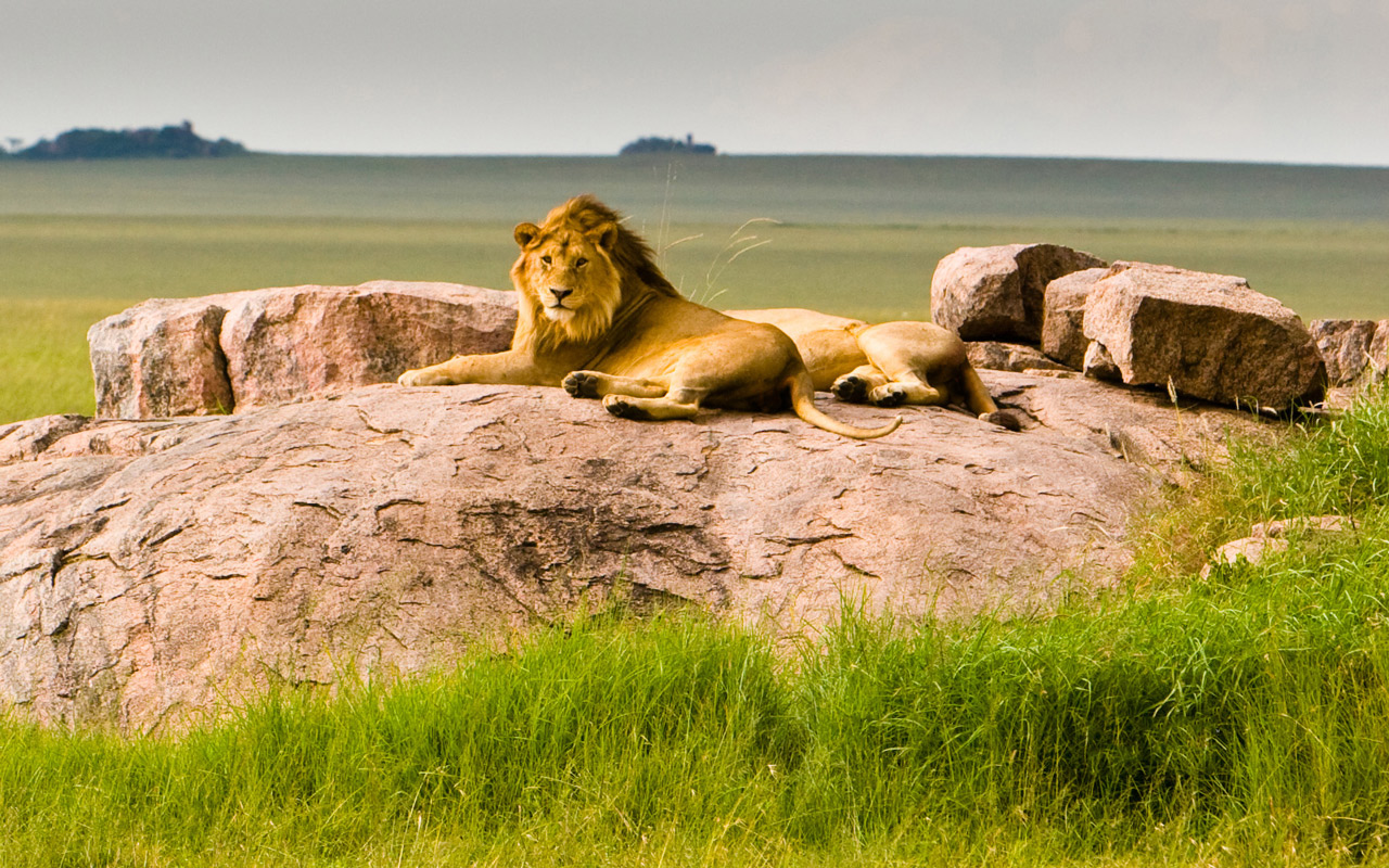 丛林猛兽-狮子